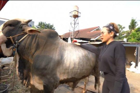 Rayakan Idul Adha, deretan artis ini beli hewan kurban berukuran besar