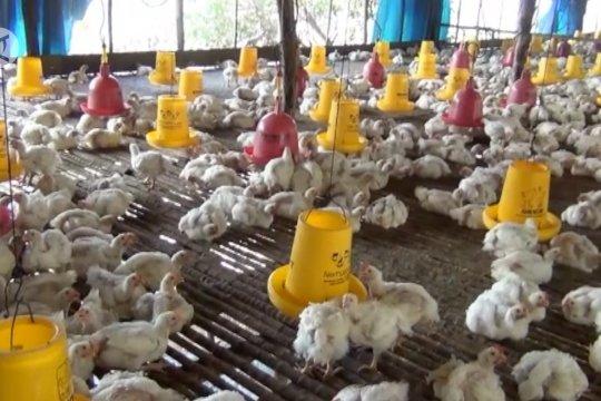 3 strategi penanganan flu burung disarankan untuk tangani COVID-19