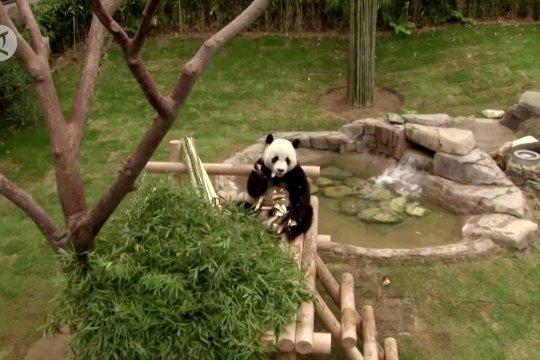Panda China raksasa melahirkan di kebun binatang Korea Selatan