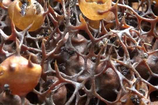 Manisnya budidaya madu linot di Aceh