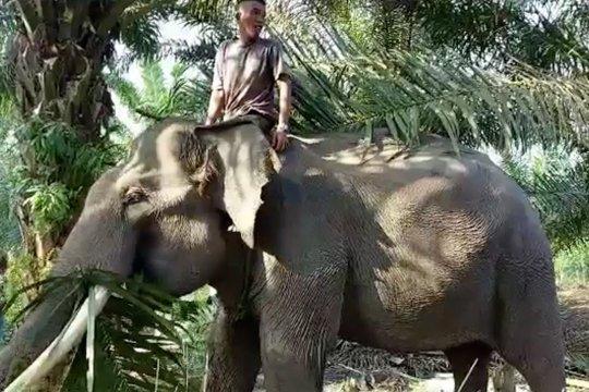 Menyelamatkan gajah Sumatera terakhir di Rokan Hilir