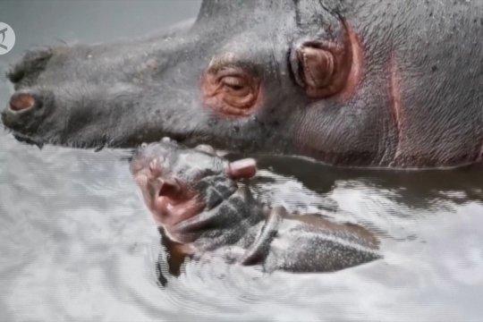 Hadirnya bayi Kuda Nil di Kebun Binatang Zacango Meksiko