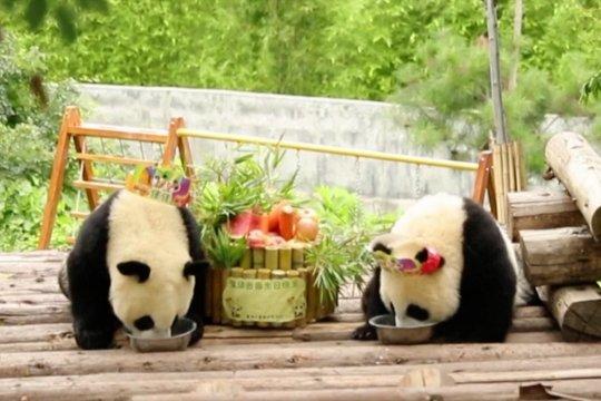 Perayaan ultah pertama panda raksasa kembar di Shaanxi