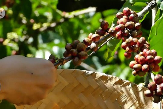 DPD siap promosikan kopi muncar