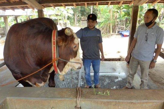 Gombloh, sapi pilihan Presiden Jokowi