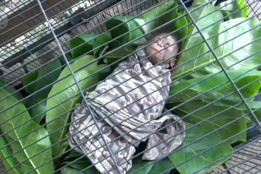 Penyerahan bayi orangutan kepada BKSDA Sampit