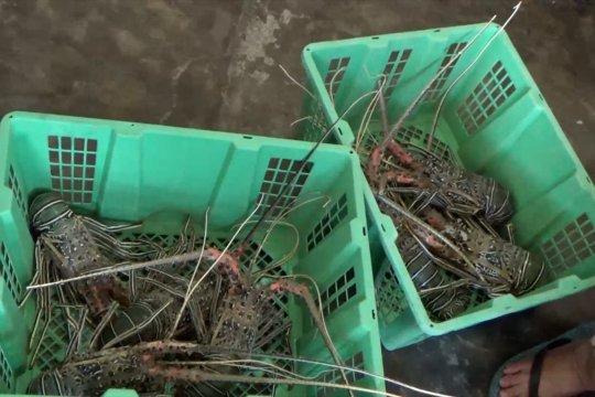 Sempat terhenti, Sumbar kembali ekspor lobster ke Cina