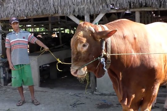 Presiden berkurban sapi seharga Rp85 juta untuk warga Palembang