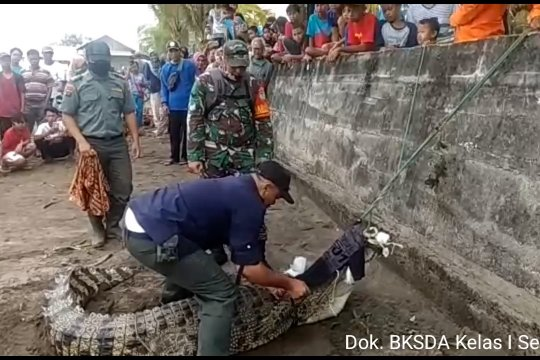 Seekor buaya dievakuasi dari Pantai Ciparay Serang