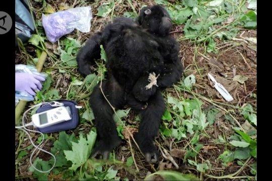 Cerita operasi penyelamatan bayi gorila di Virunga