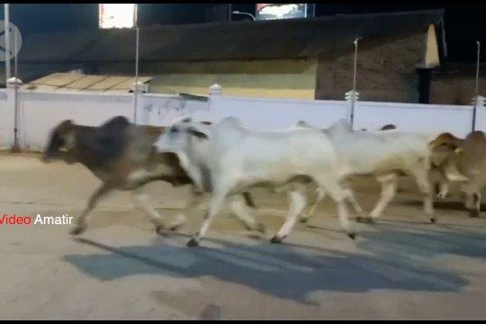 Lepas dari truk, 19 ekor sapi berlarian di Pelabuhan Merak