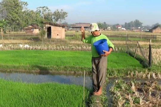 Pupuk subsidi kurang, petani di Magetan terpaksa beli pupuk nonsubsidi