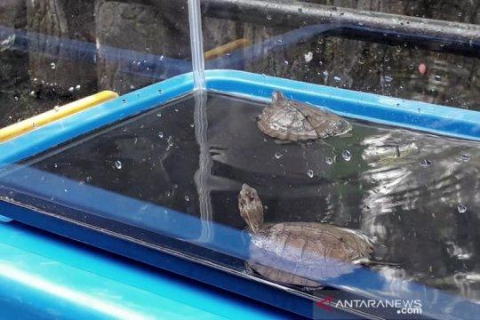 Kebun Binatang Bandung tambah koleksi sepasang kura-kura ceper