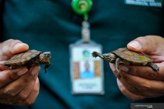Kelahiran kura-kura ceper di Kebun Binatang Bandung