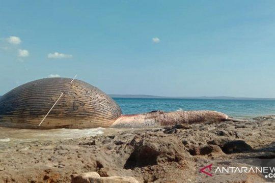 12 ekor paus terdampar di perairan NTT selama Juli
