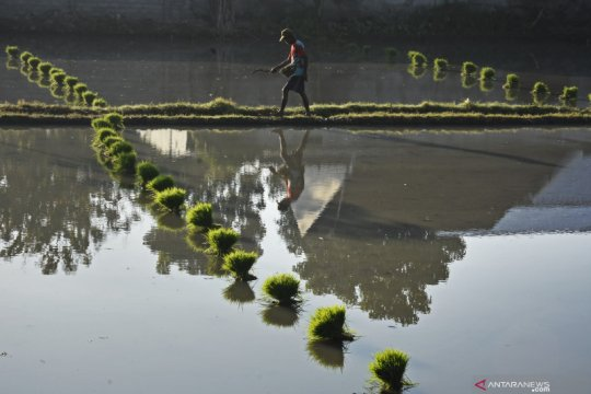 Pengamat: Kontribusi pertanian triwulan II dipengaruhi produktivitas