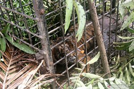 Sektor swasta perlu dilibatkan dalam konservasi harimau sumatera