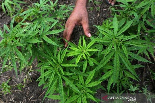 Thailand akan revisi UU narkotika untuk perluas produksi ganja