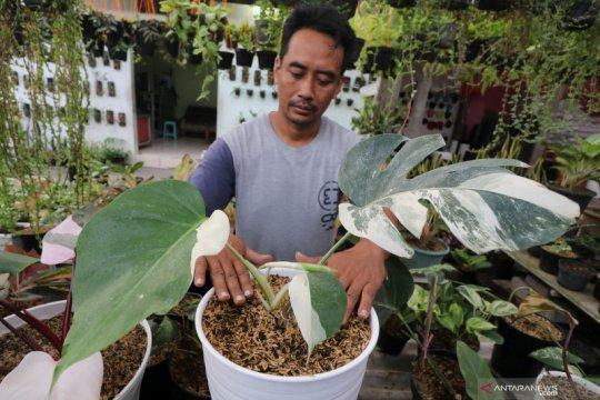 Dahsyat, harga tanaman hias philodendron bisa capai Rp4 juta per potnya