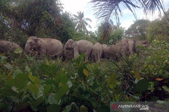 BBKSDA Riau halau 14 gajah liar yang masuk permukiman