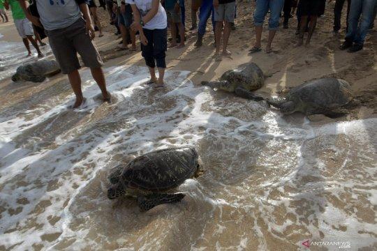 Pelepasan penyu sitaan di Pantai Kuta