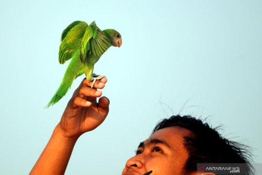 Melatih terbang burung paruh bengkok