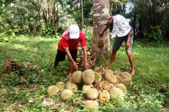 Ribuan durian Agam dipasarkan ke Riau dan Jakarta setiap hari