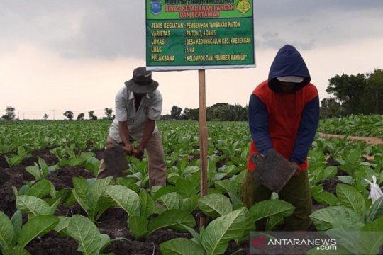 DKPP Probolinggo siapkan tiga lokasi demplot benih tembakau sertifikat