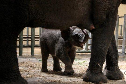 Taman Safari Prigen Pasuruan tambah koleksi gajah sumatera