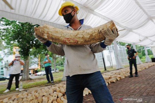 Singapura musnahkan gading gajah sitaan saat Hari Gajah Sedunia