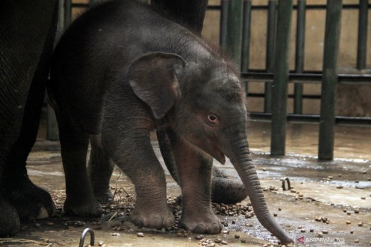 Kelahiran bayi gajah sumatera di Taman Safari Prigen