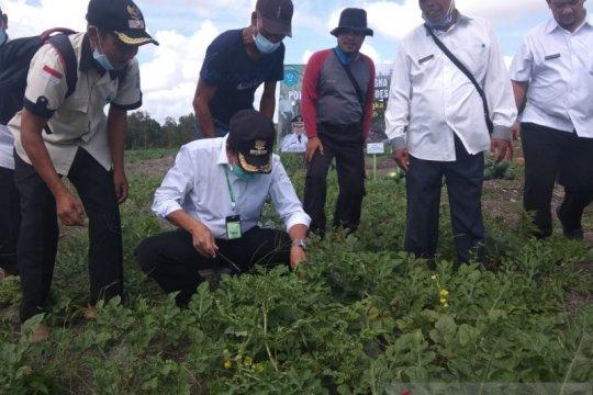 Kelompok Tani Bangka Tengah berhasil panen semangka di lahan kritis