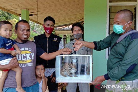 BKSDA terima satwa kucing hutan dari warga Agam-Sumbar