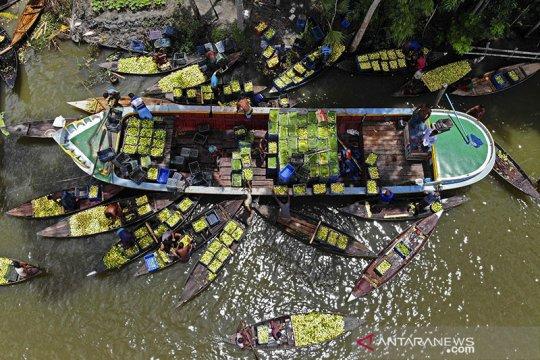 Panen jambu biji di pasar apung Bangladesh