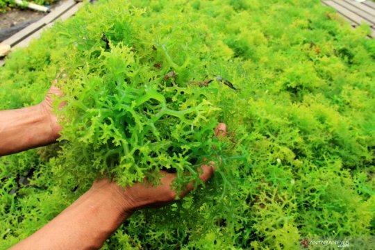 KKP dorong komoditas rumput laut diolah jadi mi dan jus