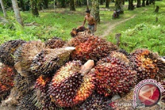 Harga CPO di Jambi naik tipis, tembus di atas Rp8.000/kg