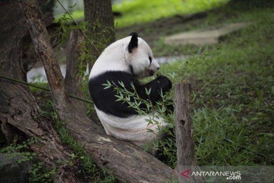 Panda raksasa di Kebun Binatang Washington