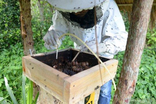 Panen madu lebah kelulut di Aceh Besar
