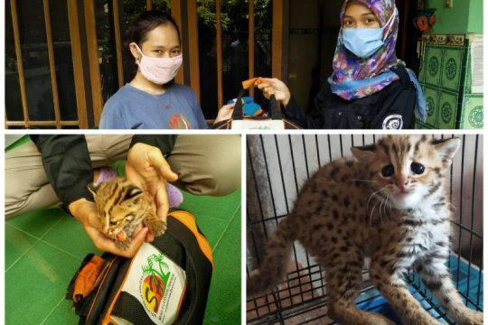 Warga Kediri temukan anak kucing hutan telantar lepas dari induknya