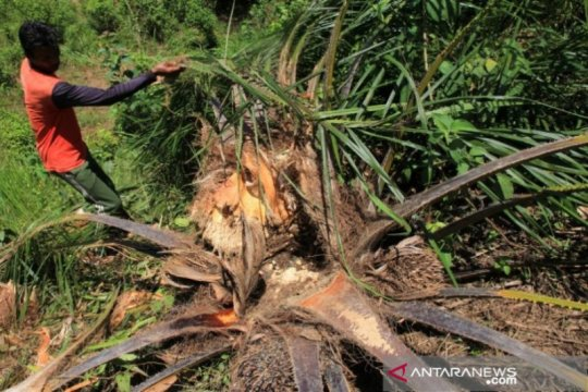 Agar tak rusak kebun, gajah di Aceh Barat dihalau pakai mercon