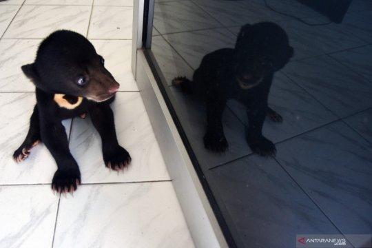 Kondisi anak beruang madu yang lumpuh
