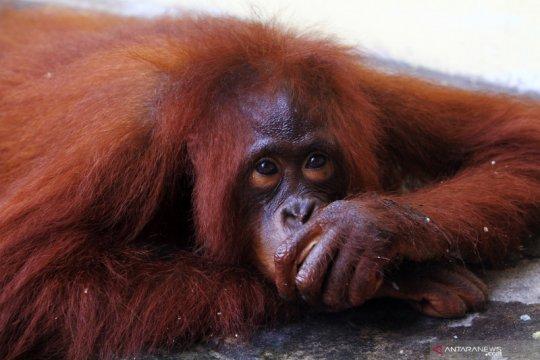Polres Mempawah sita Orangutan dari rumah warga