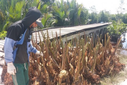 BRG gandeng masyarakat kembangkan perkebunan sagu