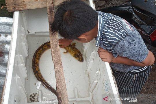 Pemancing di Agam temukan ikan sidat langka di Sungai Batang Antokan
