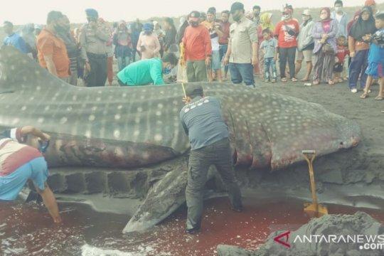 Terdampar di Pantai Paseban Jember-Jatim, hiu paus ditemukan mati