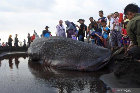 Kemarin, hiu paus terdampar hingga kasus COVID-19 terus bertambah