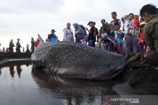 Hiu paus terdampar di pantai Paseban Jember