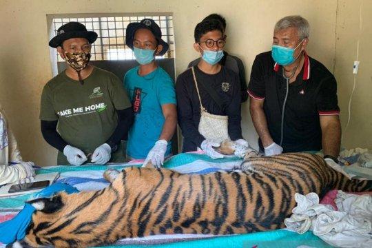 BBKSDA cek kesehatan harimau yang ditangkap di Tapanuli Selatan