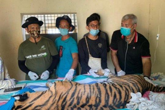 Harimau sumatera mati di Riau akibat terjerat di leher