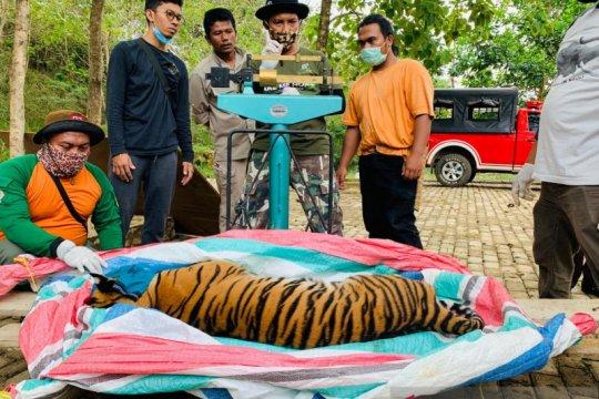 BBKSDA Sumut selamatkan harimau sumatera hindari konflik satwa-manusia